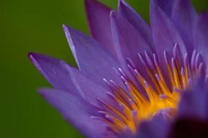 flor de lótus roxa