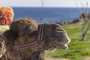 Kamelporträt