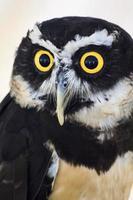 owl portrait photo
