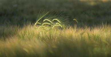 Barley (Hordeum vulgare) in Denmark