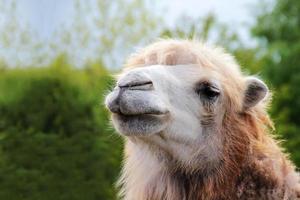 ritratto di cammello