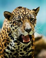 retrato de leopardo