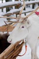 Rentier am Polarkreis - Reindeer at the polar circle photo