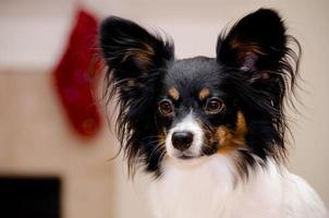 Papillon portrait photo