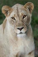 retrato de la leona