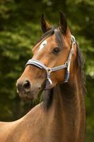 retrato de pferd foto