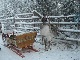 Reindeer pulling sleigh photo