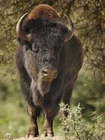 retrato de bison bull