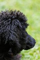 Black poodle portrait.