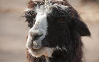 Retrato de alpaca de llama