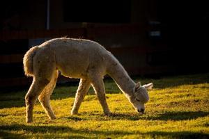 retrato de alpaca