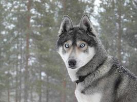 Blue eyes husky dog photo