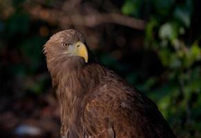 Eagle portrait photo