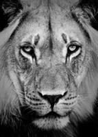 retrato de leon