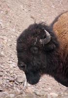 retrato de búfalo foto