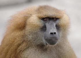 Baboon portrait photo