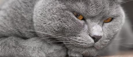 Retrato de gato británico