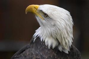 Retrato de águila calva