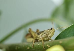 Locusta migratoria portrait
