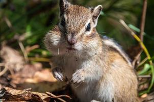 chipmunk portrait nice