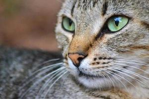 Retrato de gato atigrado foto