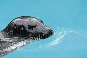 Harbor seal portrait photo