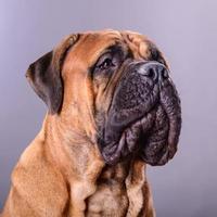 bullmastiff dog portrait