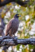 Serpent eagle portrait photo