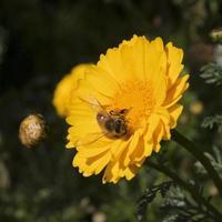 abeja de cerca foto