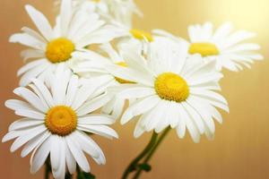 Chamomile close-up