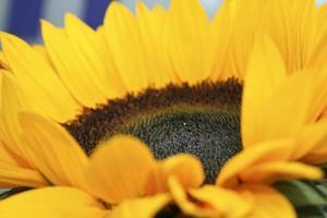 Sonnenblume close up photo