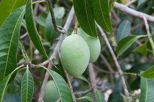 Close up mangoes