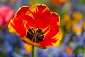 primer plano de tulipán