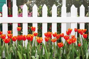 red tulip in front of the white fences