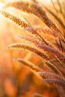vossenstaartengras onder zonneschijn, close-up selectieve nadruk