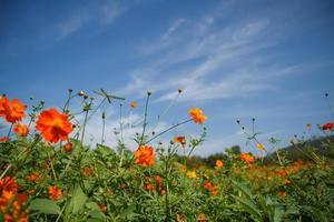flor amarilla cosmos en jardín foto