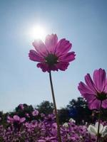 Cosmos flowers in blooming with sunset photo