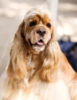 American Cocker Spaniel sitting in front