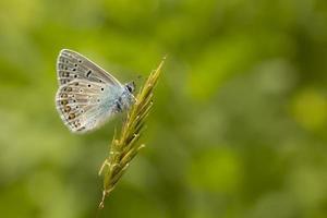 reposo azul común