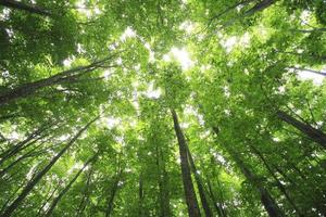 Beech forest photo