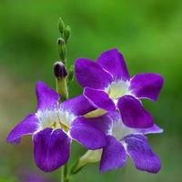 Justicia Gangetica flower