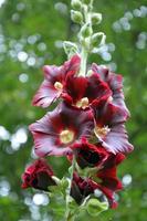 flores de malva foto