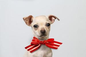 Chihuahua puppy portrait photo