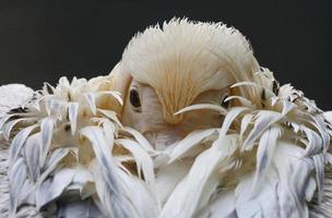 retrato de pelicano branco