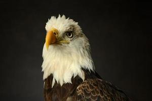 Bald Eagle portrait photo