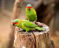 Swift parrot portrait