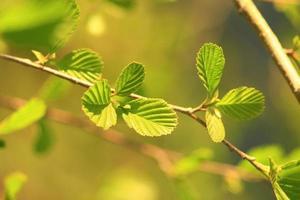 folhas de amieiro na primavera