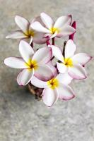 Top view of lovely flower plumeria bunch photo