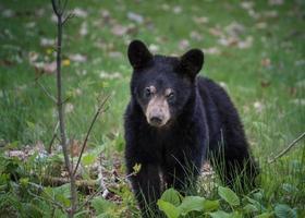 oso negro en madeline foto