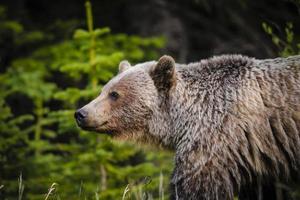 grizzlybeer (ursus arctos horribilis)